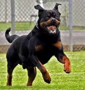 dangerous-dog-breeds